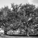 Black and White oak trees