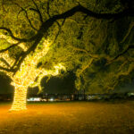 Oak tree with lights