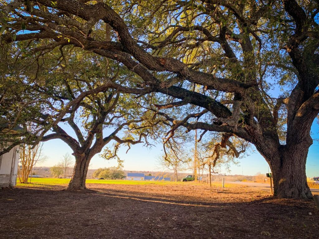 The Oaks in afternoon light